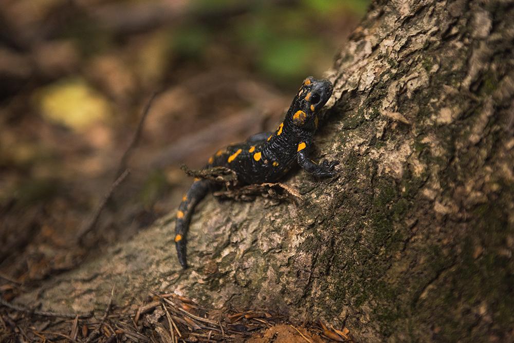 Największe atrakcje Beskidu Niskiego - co warto zobaczyć w Beskidzie Niskim. Salamandra w Magurskim Parku Narodowym.