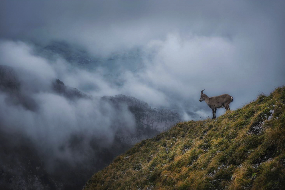 Koziorożec alpejski. Ibex Safari, góra Pilatus, Kriens